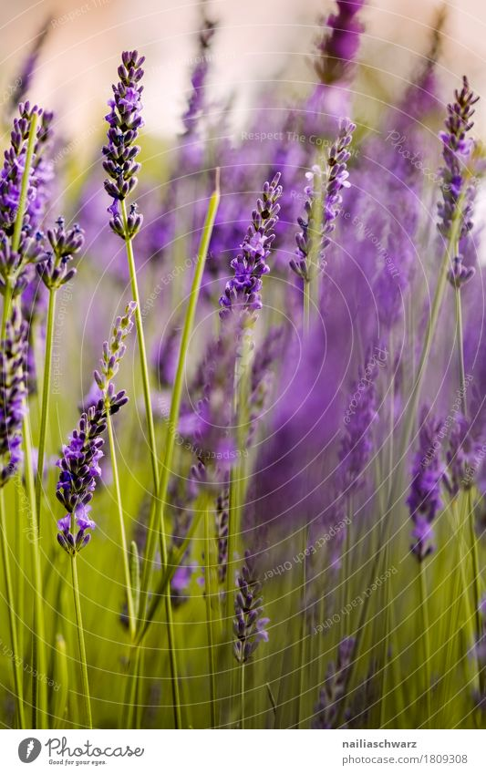 lavender Summer Nature Plant Flower Blossom Lavender Blossoming Fragrance Growth Natural Green Violet Spring fever Peaceful Purity Idyll Pure Environment