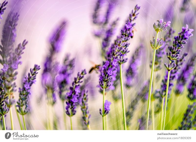 lavender field Summer Nature Landscape Plant Spring Flower Blossom Foliage plant Lavender Garden Park Meadow Blossoming Fragrance Growth Natural Soft Green