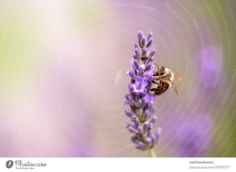 lavender Summer Nature Plant Animal Flower Blossom Lavender Farm animal Bee Insect Work and employment Blossoming Fragrance Growth Natural Soft Green Violet