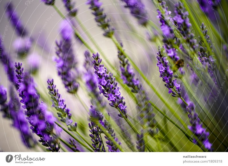 lavender Summer Environment Nature Landscape Plant Spring Beautiful weather Flower Blossom Foliage plant Lavender Garden Park Meadow Field Blossoming Fragrance