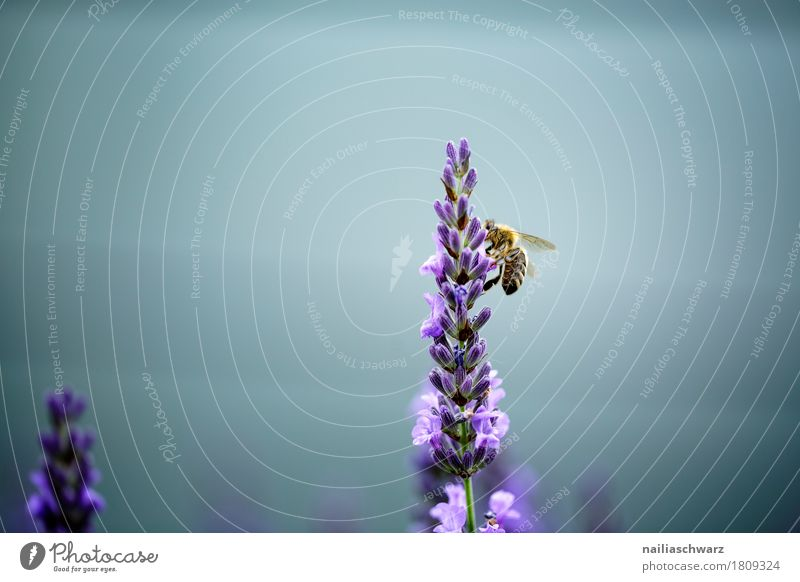 busy bee Summer Nature Plant Animal Spring Flower Agricultural crop Lavender Garden Park Farm animal Insect Bee 1 Work and employment Blossoming Fragrance