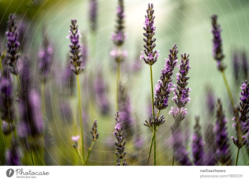 lavender field Summer Environment Nature Plant Spring Beautiful weather Flower Blossom Lavender Garden Park Meadow Blossoming Fragrance Growth Simple Fresh