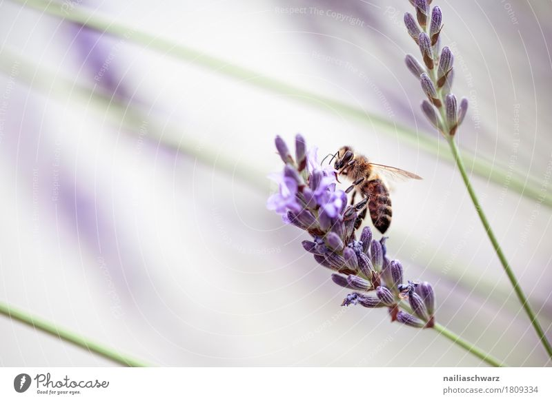 Lavender and bee Summer Environment Nature Plant Animal Spring Flower Blossom Garden Park Farm animal Insect Bee 1 Work and employment Touch Blossoming