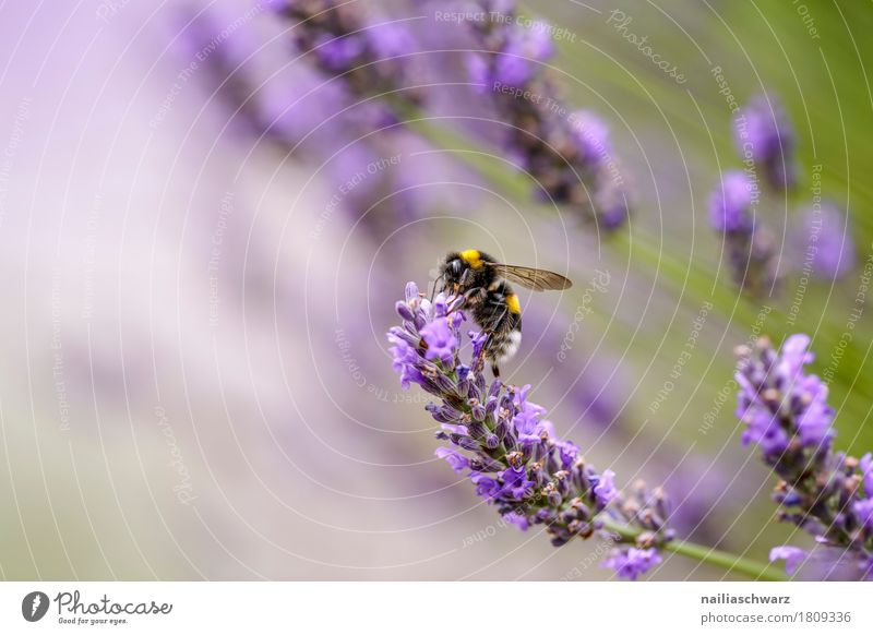 Bee on lavender flower Summer Nature Plant Animal Tree Flower Blossom Lavender Garden Park Meadow Field Pet Farm animal Insect 1 Work and employment Blossoming