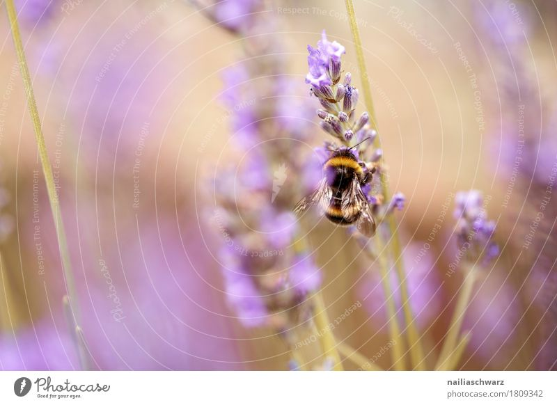lavender Summer Nature Plant Animal Spring Flower Blossom Agricultural crop Lavender Garden Park Meadow Field Insect Bumble bee Bee Work and employment