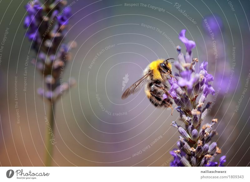 busy bee Summer Nature Spring Plant Flower Blossom Lavender field Animal Farm animal Bee Insect 1 Work and employment Blossoming Fragrance Friendliness Natural