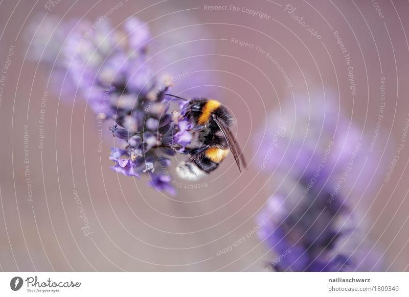 lavender Summer Nature Plant Animal Spring Flower Blossom Agricultural crop Wild plant Lavender Garden Park Meadow Farm animal Bee 1 Work and employment
