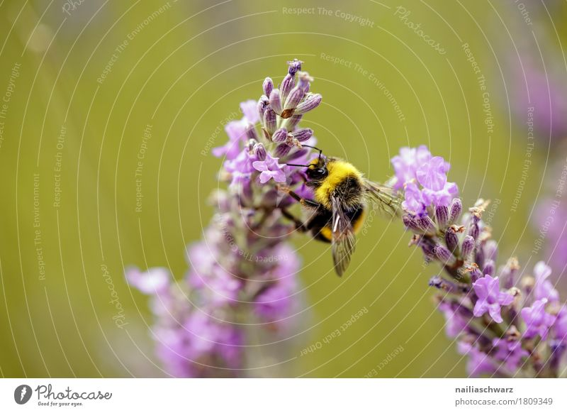 lavender Summer Environment Nature Plant Animal Spring Climate Flower Blossom Garden Meadow Field Farm animal Bee Insect 1 Work and employment Blossoming