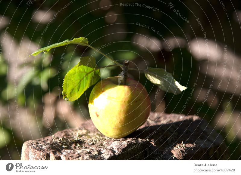 The apple falls Food Apple Nutrition Organic produce Vegetarian diet Lifestyle Healthy Eating Thanksgiving Agriculture Forestry Nature Garden Stone To fall