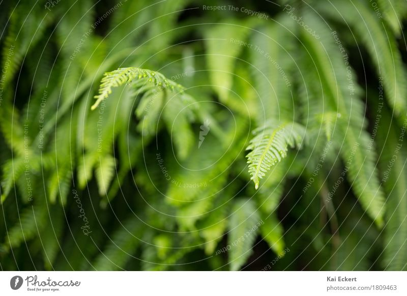 fern Nature Plant Fern Foliage plant Esthetic Fresh Natural Green Contentment Colour photocase Exterior shot Deserted Day Shallow depth of field