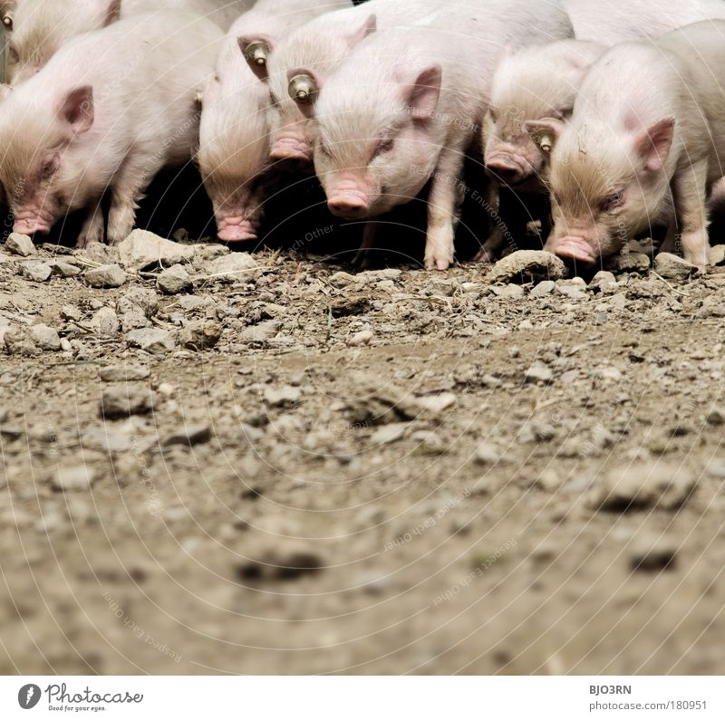 pile of pigs Colour photo Exterior shot Detail Deserted Copy Space bottom Morning Contrast Blur Shallow depth of field Worm's-eye view Animal portrait