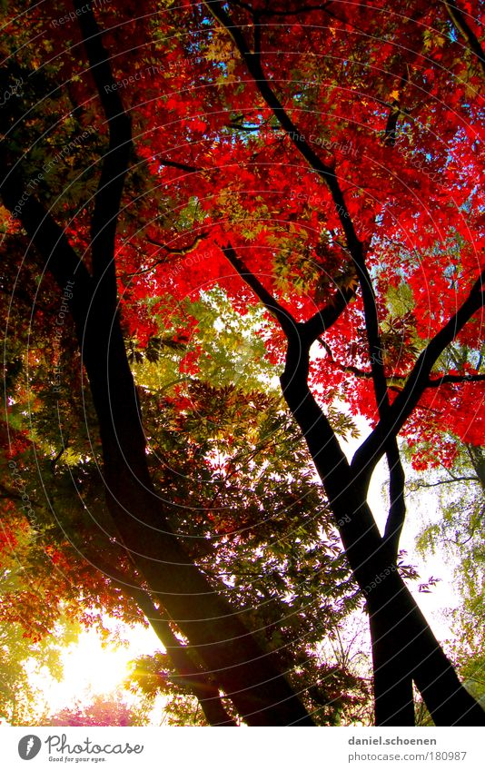 red upright autumn Colour photo Morning Sunlight Sunbeam Sunrise Sunset Autumn Weather Tree Park Forest Multicoloured Green Red Growth Change