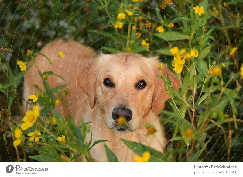 Dog Nature Flower Animal Pet Animal face Love of animals Golden Retriever