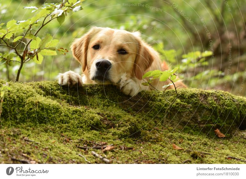 A break in the green... Animal Pet Dog 1 Love of animals Golden Retriever Colour photo Exterior shot Close-up Animal portrait Looking