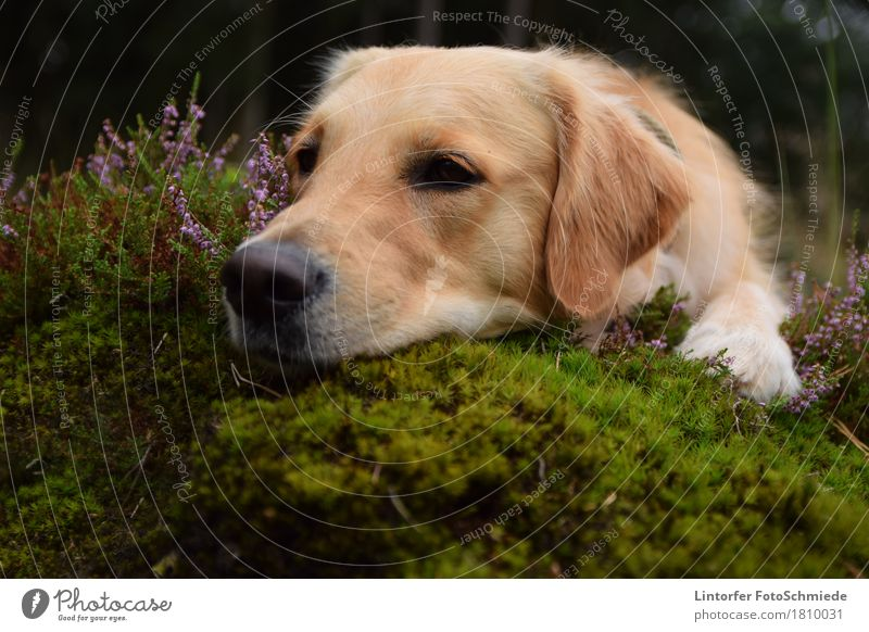 Orly in the heath Nature Animal Dog 1 Golden Retriever Colour photo Exterior shot