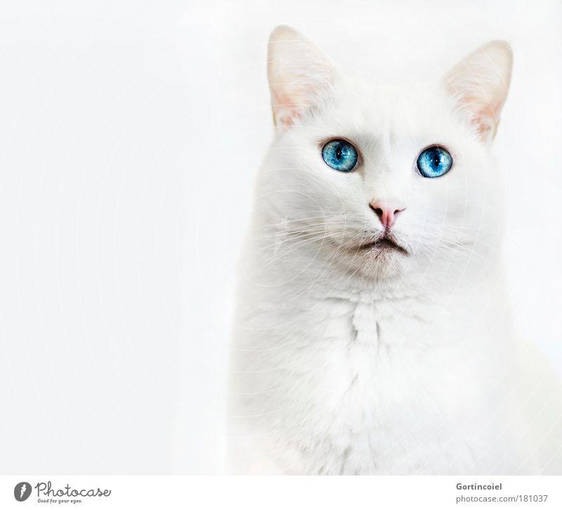 Beautiful White Blue Eyes Animal Isolated Image Cat Bright High-key Elegant Animal face Pelt Noble Head Pet Snout