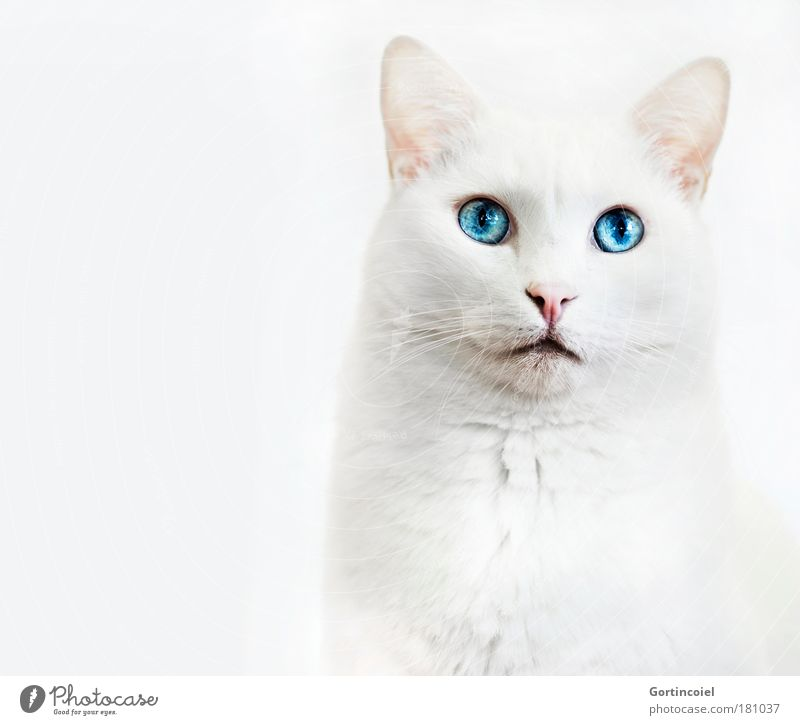 Beautiful White Blue Eyes Animal Isolated Image Cat Bright High-key Elegant Animal face Pelt Noble Head Pet Snout