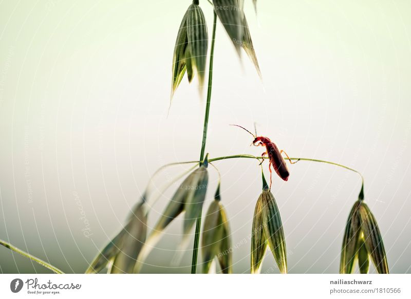 bug Plant Animal Grass Agricultural crop Grain Grain field Field Wild animal Beetle Insect 1 Observe Crawl Looking Happiness Natural Curiosity Cute Beautiful
