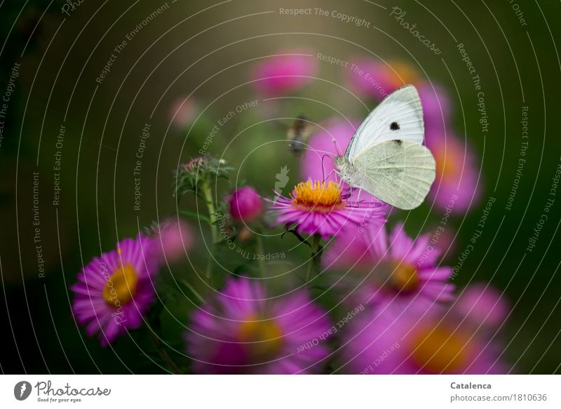 Competition is approaching Nature Plant Animal Summer Flower Blossom Predatory Leaf Aster Garden Bee Butterfly 2 Flying To feed Esthetic Fragrance Yellow Green