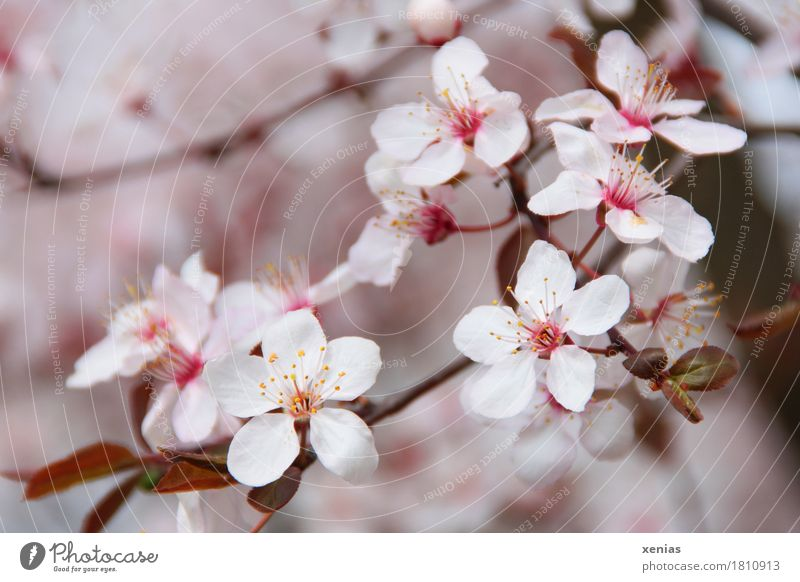 Cherry blossoms on a branch Blossom Tree Ornamental cherry Spring Cherry tree Rosy Pink White Transience Beginning Japanese Close-up Shallow depth of field