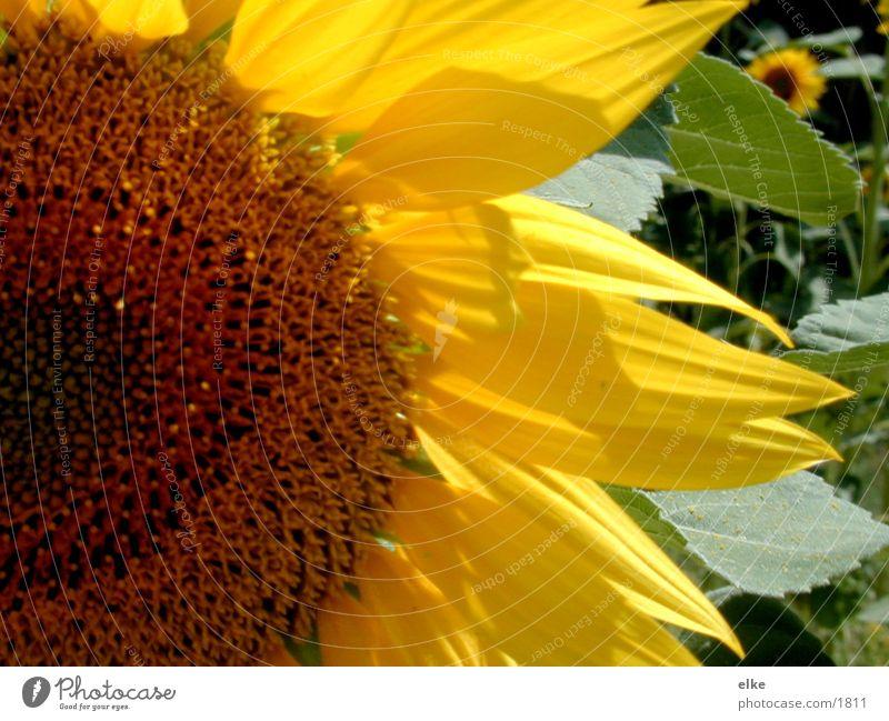 flowerpower Sunflower