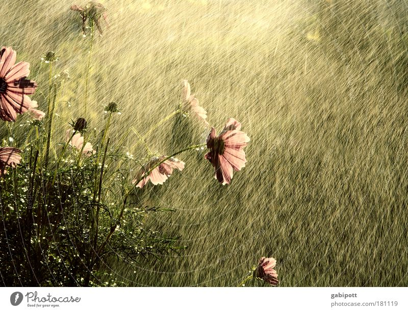 Nature Water Flower Plant Summer Leaf Life Garden Happy Warmth Rain Brown Pink Drops of water Wet Happiness