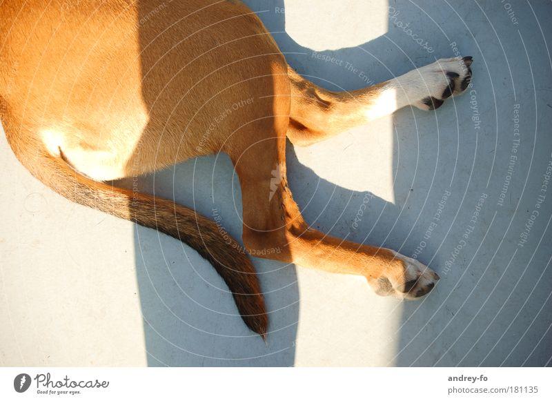 dog Animal Pet Dog Pelt Paw 1 Concrete Brown Gray Love of animals Calm Break Tails Sunlight 2 Legs Lie Purebred dog Hind quarters Ground Bird's-eye view