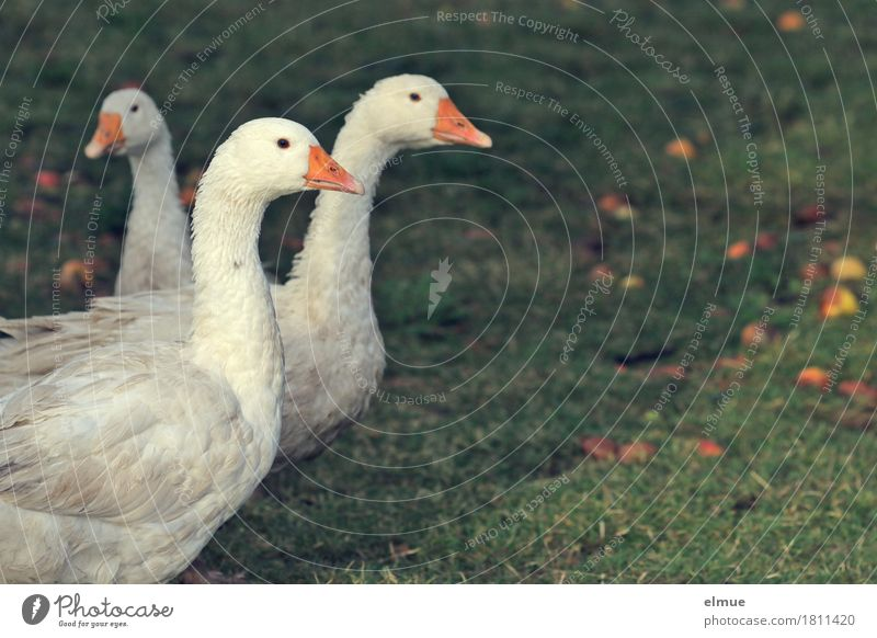 """Goose in white"" Autumn Meadow Farm animal Bird 3 Animal Roasted goose Christmas roast Communicate Looking Stand Wait Together Happy Delicious Natural White"