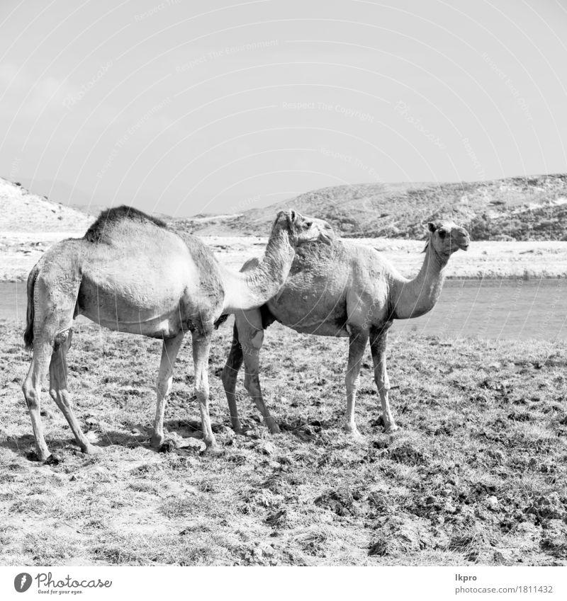 free dromedary near the sea Eating Vacation & Travel Tourism Safari Nature Plant Animal Sand Sky Lake Hot Wild Brown Gray Black White Asia Arabia arid Beast