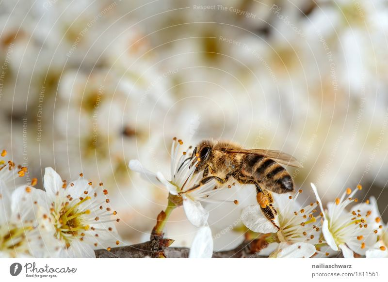 spring Environment Nature Spring Beautiful weather Plant Flower Blossom Agricultural crop Branch Twigs and branches Garden Animal Insect Bee 1