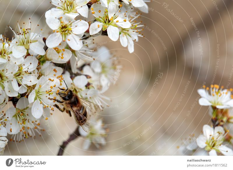 bee Environment Nature Plant Animal Spring Tree Flower Blossom Branch Twigs and branches Garden Park Farm animal Bee Insect Work and employment Blossoming