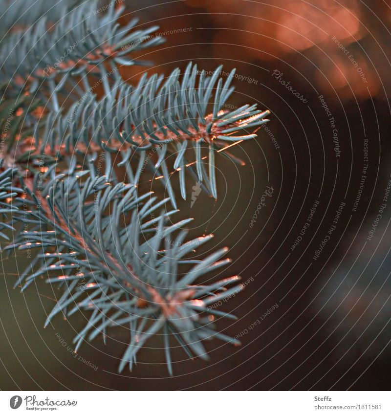 The scent of pine needles Nature Plant Autumn Winter Wild plant Pine Pine needle Spruce Coniferous trees needle leaf Fir needle Twig Forest Fragrance Beautiful
