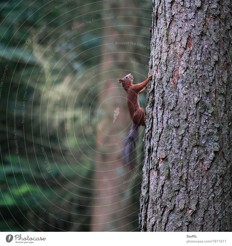 Squirrel runs up quickly Tree Tree trunk Tree bark Wild animal Forest trees summer forest forest bath Upward perpendicular balancing act balance Balance
