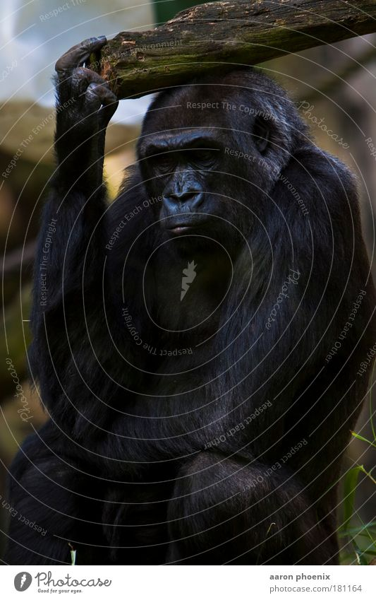 Nature Calm Animal Emotions Moody Nose Wild animal Animal face Pelt Serene Gesture Evolution Animal protection Gorilla Zoology Detail of face