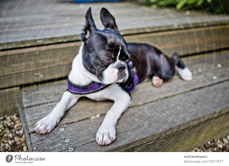 Dog Beautiful White Relaxation Animal Black Baby animal Funny Wood Gray Leisure and hobbies Contentment Stairs Lie Elegant Idyll