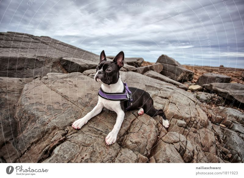 Boston Terrier on the beach Vacation & Travel Summer Beach Nature Landscape Sky Clouds Rock Coast Lakeside Ocean Atlantic Ocean Animal Pet Dog boston terrier