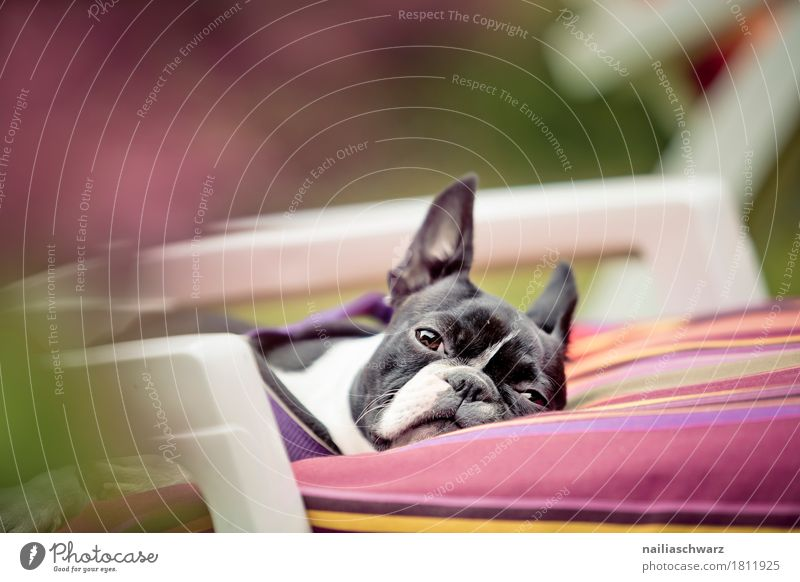 relaxation Relaxation Beautiful weather Garden Park Animal Pet Dog Animal face boston terrier Bulldog 1 Couch Armchair Observe To enjoy Lie Looking Sleep Funny