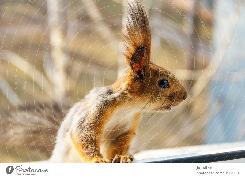 Little curious squirrel looking to the right Nature Animal Autumn Fur coat Wild Brown Squirrel wildlife Mammal fluffy window Rodent Strange Whisker orange