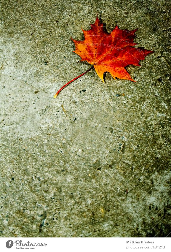 maple Maple tree Leaf Prongs Floor covering Ground Stalk Concrete Loneliness Individual Uniqueness Gold Golden yellow Yellow Mold Gloomy Autumn Beautiful
