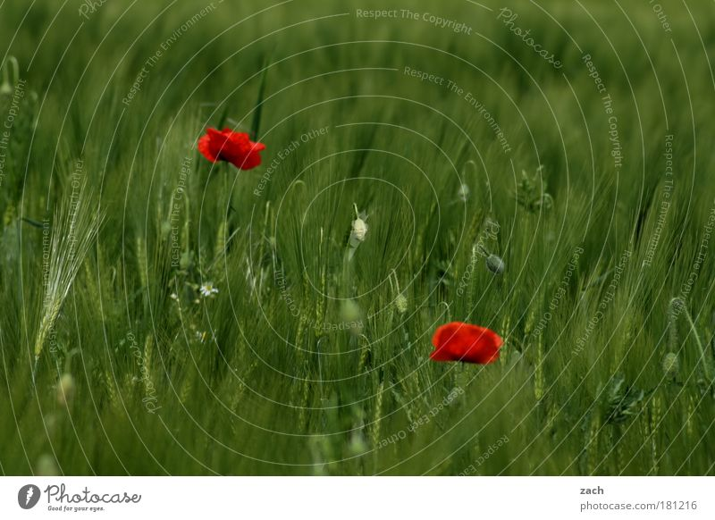 Nature Beautiful Flower Green Plant Red Summer Meadow Blossom Grass Couple 2 Field Environment Esthetic Growth