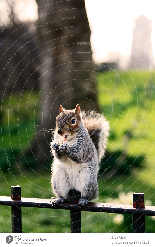 Nature City Animal Environment Park Tourism Nutrition Sit Sweet Cute Brash Nut Squirrel Cliche England Great Britain