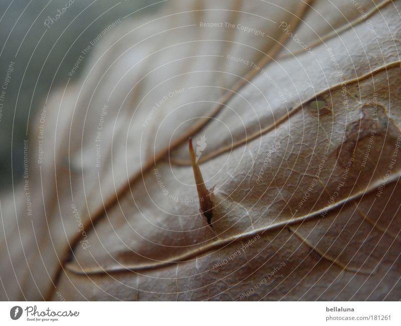 Nature Plant Leaf Autumn Environment Moody Shriveled Thorn Pierce Rachis Chestnut Chestnut leaf