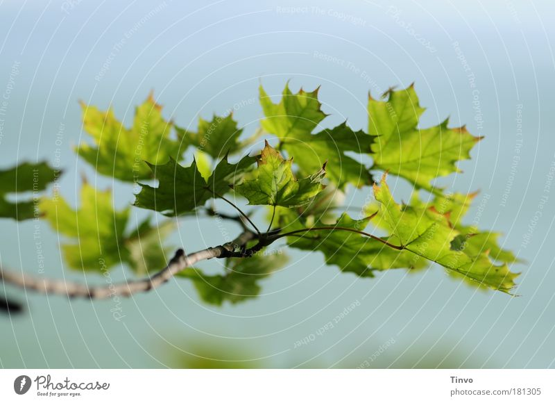 Nature Blue Plant Green Summer Tree Leaf Environment Park Branch Beautiful weather Twig Maple tree Foliage plant