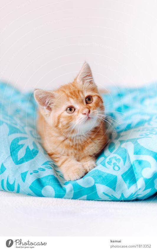 Cat Beautiful Animal Calm Baby animal Small Orange Friendship Flat (apartment) Living or residing Lie Cute Friendliness Bedclothes Serene Trust