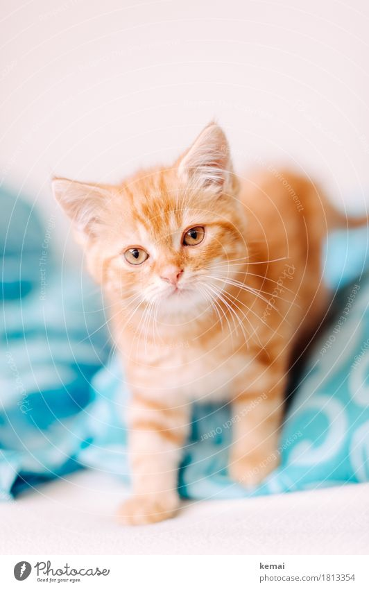 Cat Animal Baby animal Small Orange Bright Flat (apartment) Living or residing Stand Cute Cool (slang) Curiosity Pelt Turquoise Watchfulness Pet