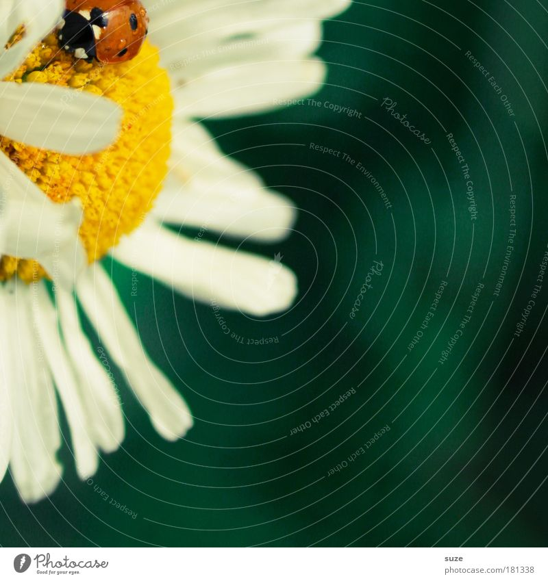 fashion slider Happy Summer Environment Nature Plant Blossom Animal Wild animal Beetle 1 Beautiful Small Natural Cute Green Red Ladybird Marguerite