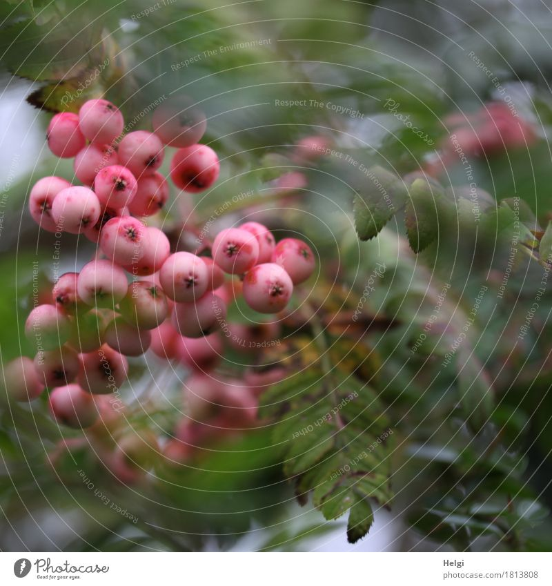 pink bushberry Environment Nature Plant Autumn Bushes Leaf Fruit Berry seed head Rawanberry Garden Growth Exceptional Uniqueness Small Natural Round Gray Green