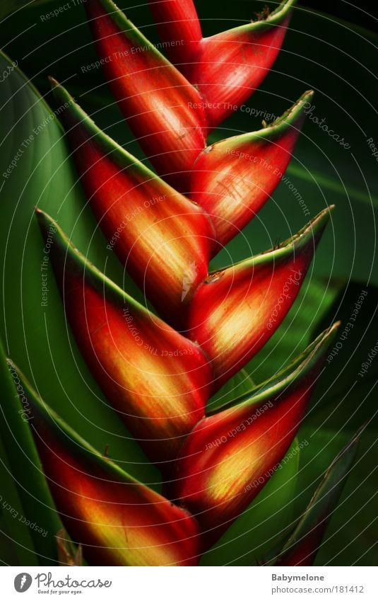 Nature Beautiful Plant Red Yellow Environment Illuminate Exotic Malaya
