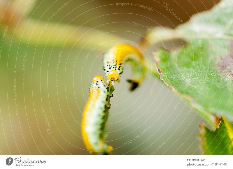 Caterpillar intersection Summer Nature Animal Butterfly 2 Together Yellow Bug caterpillar Living thing Insect Larva Metamorphosis Colour photo