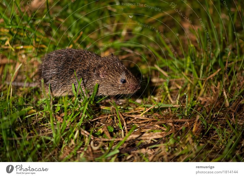 Field mouse Nature Animal Farm animal 1 Small Cute Brown Green Rodent Mammal Strange Colour photo Close-up Deserted Night Artificial light Hairy Pelt Mouse Eyes